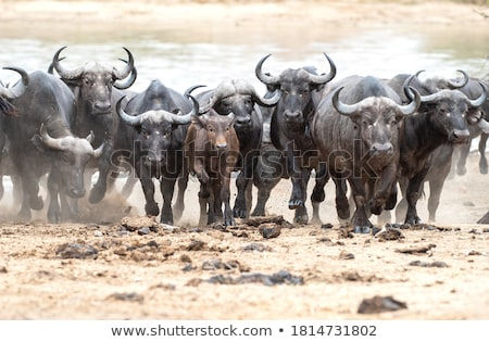 Herd of Buffalo stock photo © JFJacobsz