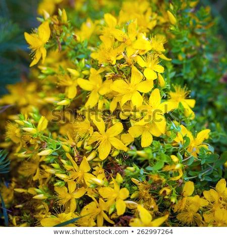 グラスホッパー · 黄色の花 · 緑 · 自然 · 庭園 · 食品 - ストックフォト © pixachi