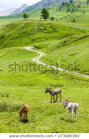 donkeys, landscape of Piedmont near French borders, Italy Stock photo © phbcz