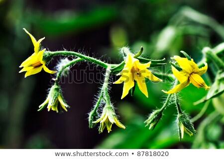 bright yellow flowers of tomatoes stock photo © peredniankina