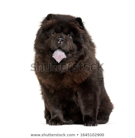 chow chow in white background  stock photo © vauvau