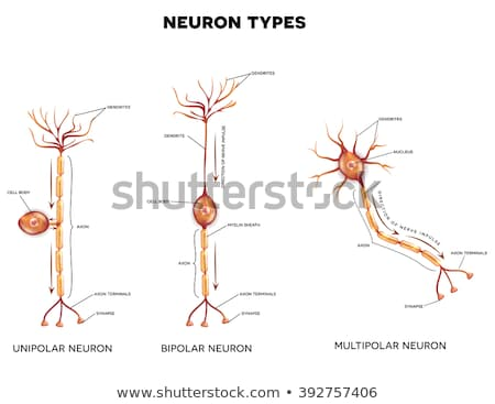 Neuron types, nerve cells that is the main part of the nervous s Stock photo © Tefi