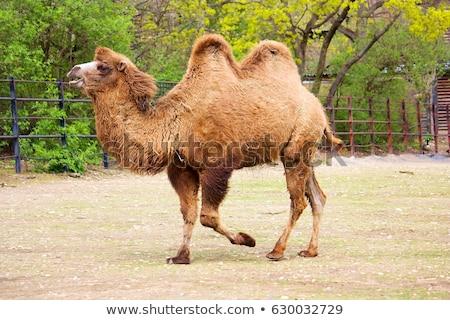 Iki deve hayvanat bahçesi örnek doğa arka plan Stok fotoğraf © bluering