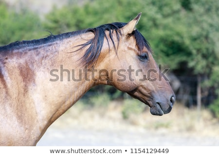 Brown horse with black mane close-up in Horse Hill Preserve on a summer day. Stock photo © yhelfman