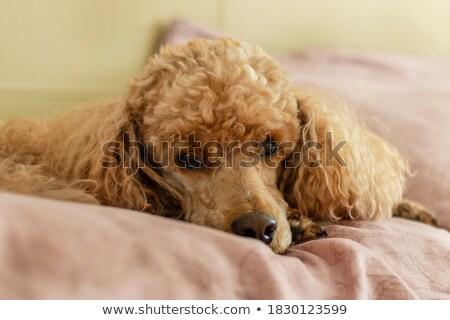 Sad Little Poodle Stock photo © cthoman