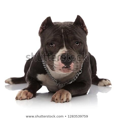 Aanbiddelijk amerikaanse keten ketting hond Stockfoto © feedough