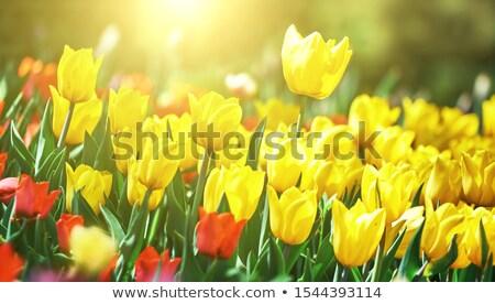 Jaune tulipes Bush illustration fleur nature Photo stock © colematt