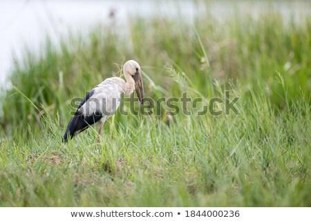 Weiß Storch Essen grünen Bereich Landschaft Stock foto © taviphoto