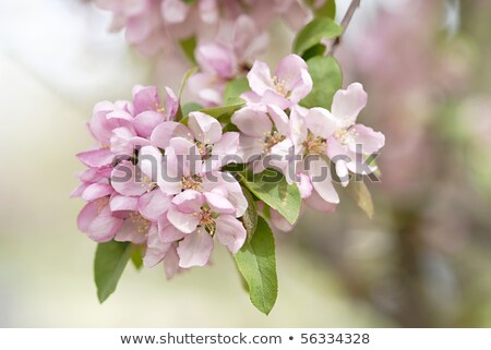 Cluster of pink blossom on a crab apple tree Stock photo © sarahdoow