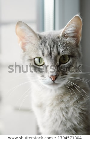 Grey cat with yellow eyes Stock photo © restyler