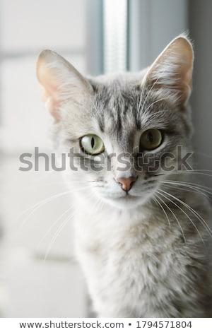 Grigio cat giallo occhi serenità Foto d'archivio © restyler