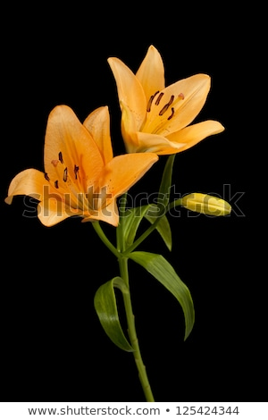 Closeup of stamen on an Orange Asiatic Lily Stock photo © rcarner