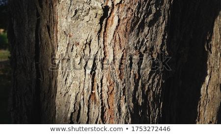 Détail écorce sequoia arbre rouge bois Photo stock © AlessandroZocc