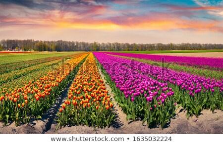 Stock fotó: Tavasz · tulipán · csodálatos · napsugarak · piros · szépség