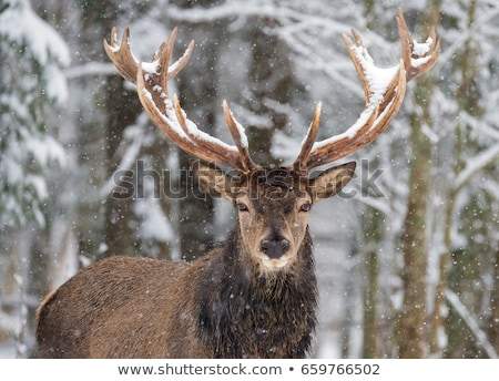 portrait of adult deer stock photo © vwalakte