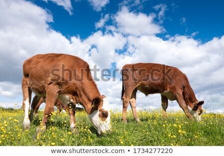 Calf Grazing in a Field Stock photo © rhamm