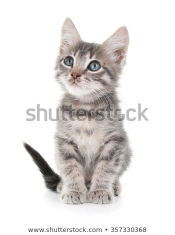 Inquisitive little grey cat Stock photo © smithore