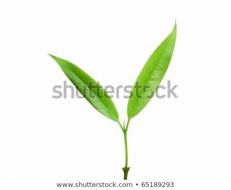 two green orange tree leaves isolated over white stock photo © lunamarina