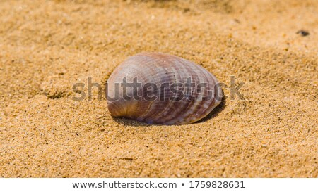 sea cockleshell lies on white surface Stock photo © taden