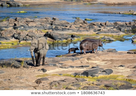 Elephant in the River stock photo © JFJacobsz