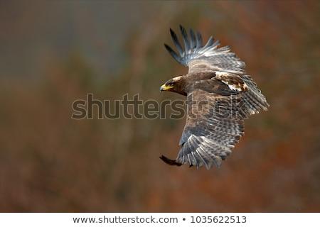 sas · madár · zsákmány · természet · szabadság · citromsárga - stock fotó © Nneirda
