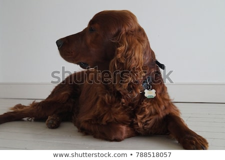 Stock photo: Irish red and white setter portrait