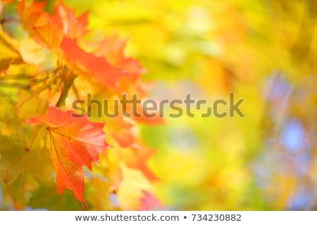 Detail of autumnal maple tree Stock photo © AlessandroZocc