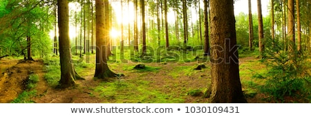 light of the sun through the trees stock photo © kotenko