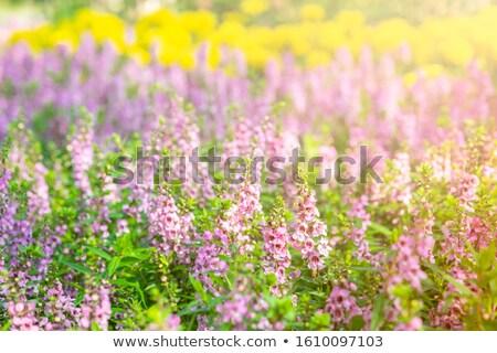Salvia Farinacea Stock photo © StephanieFrey