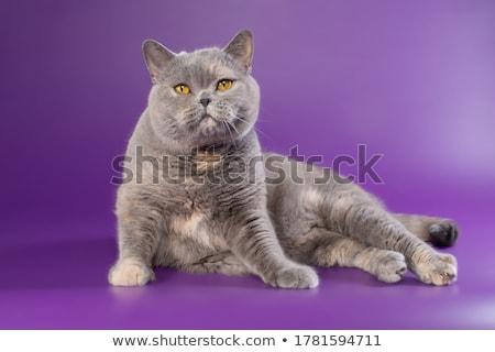 Grăsime pisica domestica fotografie studio frumuseţe amuzant Imagine de stoc © vauvau