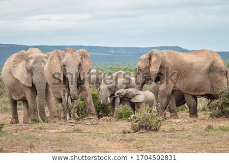 african bush elephant standing and relaxing stock photo © markdescande