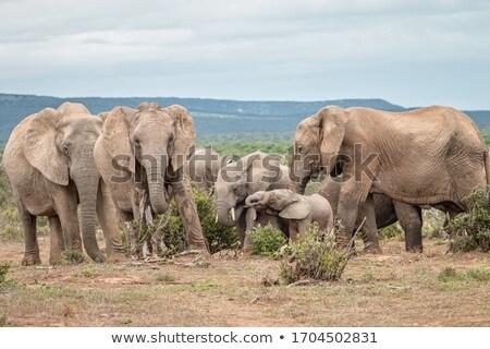 Africaine Bush éléphant permanent détente domaine Photo stock © markdescande