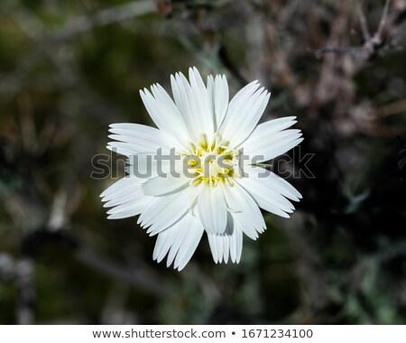 Daisy · цветок · взрослый · пустыне · воды · весны - Сток-фото © qingwa