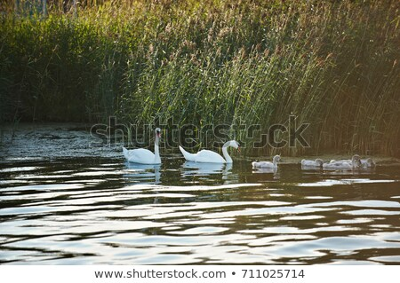 Lac nature natation animaux soins cygne Photo stock © IS2