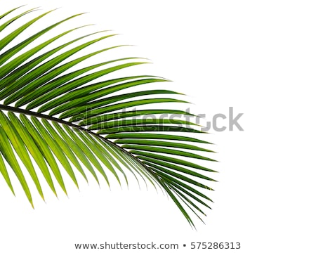 Stock photo: Green Leaves Of Palm Tree Isolated On White Background