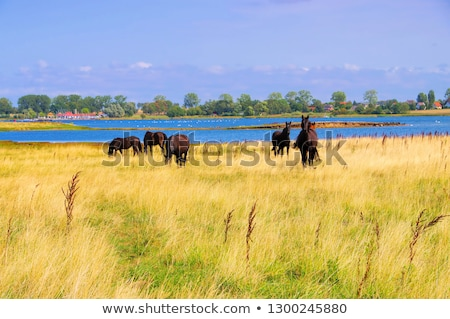 horses in the pasture on the island of Poel Stock photo © LianeM