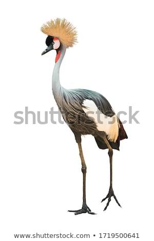 Birds of Uganda - The Grey Crowned Crane Stock photo © galitskaya
