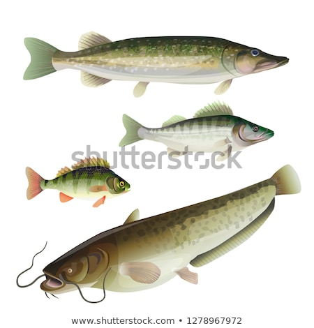 Wels Catfish Fish Types Set Vector Illustration Stock photo © robuart