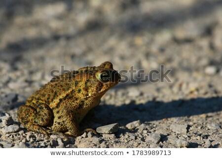 Varangy ül sóder szem természet lábak Stock fotó © mackflix