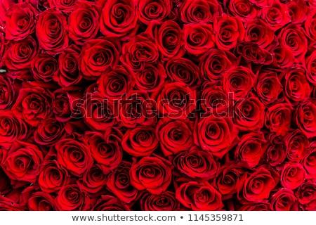 Rood rose steeg Rood drop macro Stockfoto © Leonardi
