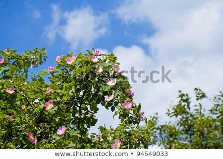 Blossom Detail Of Fructus Cynosbati Zdjęcia stock © Artush