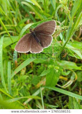 Ringlet butterfly (Aphantopus hyperanthus) Stock photo © chris2766
