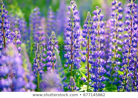 Close-up of Lupine Flowers stock photo © bigjohn36