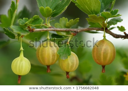 ripe gooseberry with green leaf Stock photo © brulove