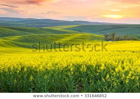 golden fields of canola flowers in bloom stock photo © avdveen