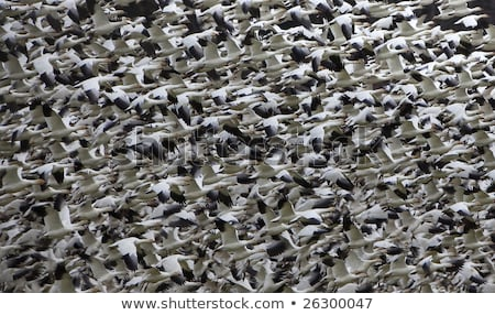 Thousands of Snow Geese Flying and Taking Off Stock photo © billperry