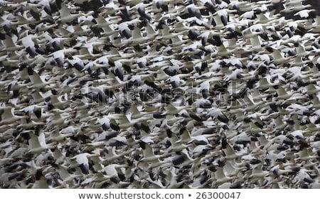 fehér · liba · repülés · égbolt · illusztráció - stock fotó © billperry