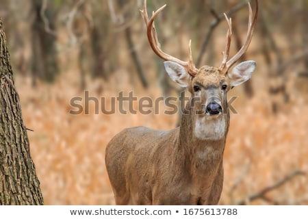 deer hunting stock photo © araga