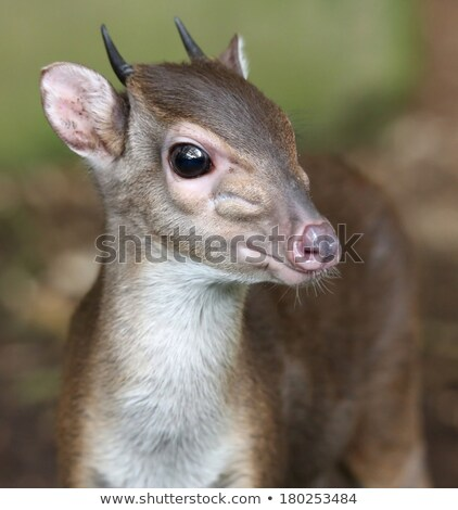 Blue Duiker Antelope Stock photo © fouroaks