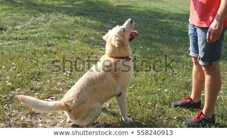 Золотистый ретривер Stick красивой чистокровных собак травой поле Сток-фото © bigandt